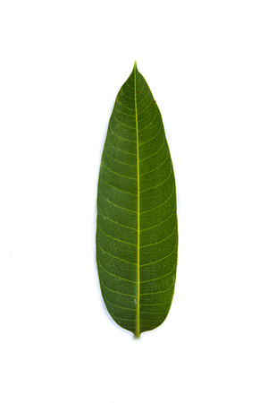mango leaf isolate on white background photo