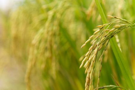 田んぼで米スパイク 写真素材