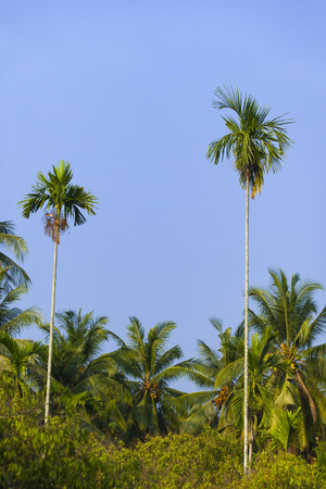 Betel palm and blue sky