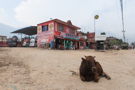 god's cow: KATHMANDU, NEPAL - SEPT 10, 2015 : Cow lying on the street in front of gas station on SEPT 10, 2015 in Kathmandu, Nepal. Cow is the Gods vehicles. Hindu people respect cow like god.