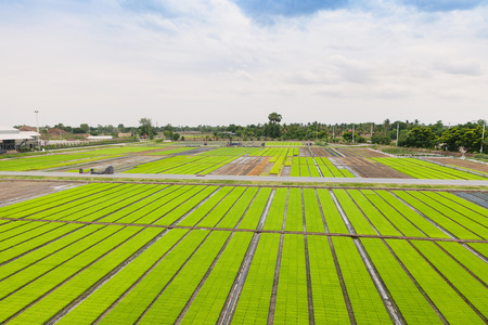 grid background: Aerial view of paddy seedlings in the nursery fields.