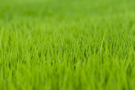 Beautiful green rice field background, Selective focus.