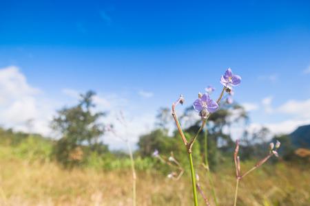 Purple flowers field (Murdannia giganteum) in sunset on Phu Soi Dao National Park, Uttaradit, Thailand. Stock Photo