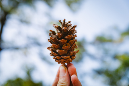 Hand holding a pine cones with forest.