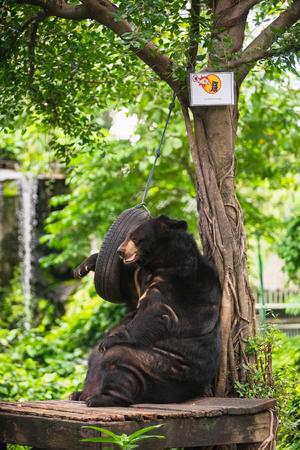 Asian black bear relaxing at Dusit Zoo in Bangkok, Thailand. Standard-Bild - 114848982