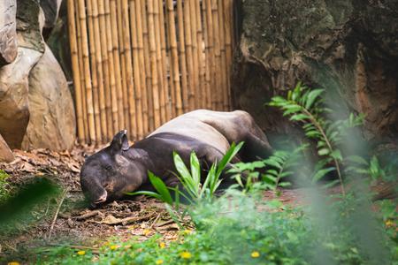 Malayan tapir or Asian tapir sleeping on the ground in Dusit zoo on Bangkok, Thailand. Standard-Bild - 114848761