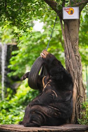 Asian black bear relaxing at Dusit Zoo in Bangkok, Thailand. Standard-Bild - 114848668