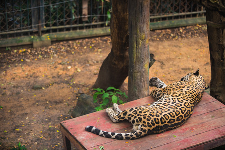Sleeping Jaguar in the zoo. Stock Photo