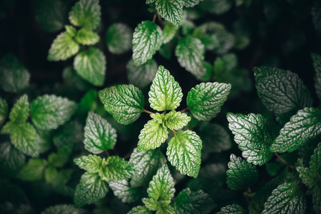 Green mint leaves background.