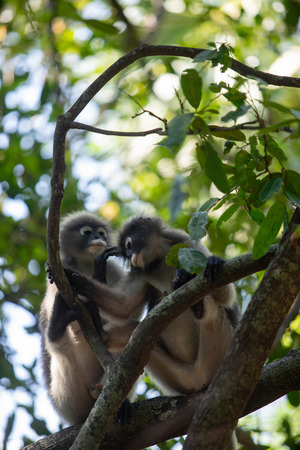 Dusky Langur Monkey baby with mather on the tree in the forest.