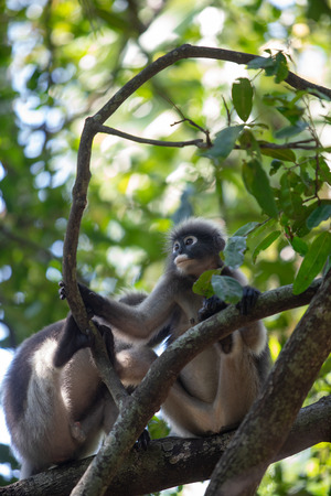 Dusky Langur Monkey sitting on the tree branch in the forest.