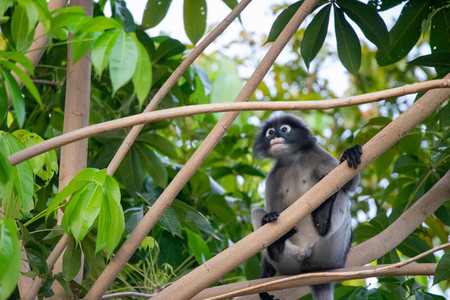 Dusky Langur Monkey baby with mather on the tree in the forest. Editorial