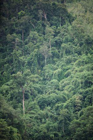 The trees in tropical rain forest of Hala Bala wildlife sanctuary. Yala, Thailand.