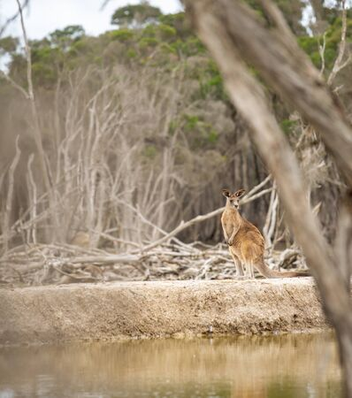 Kangaroos in Phillip Island Wildlife Park, Australia.