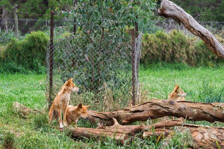 The dingo is a wild dog in Phillip Island Wildlife Park, Australia.
