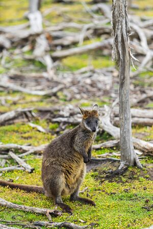 wallaby relaxing in Phillip Island Wildlife Park, Australia.