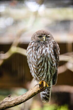 An owl in Phillip Island Wildlife Park, Australia.