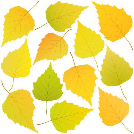 autumn leaves of birch Illustration