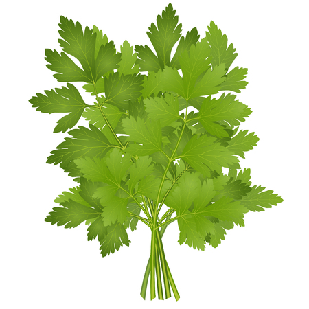 bunch of parsley Illustration