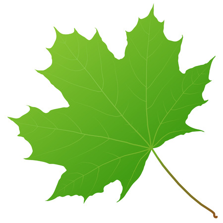 green maple leaf Illustration