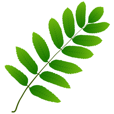 green leaf rowan Illustration