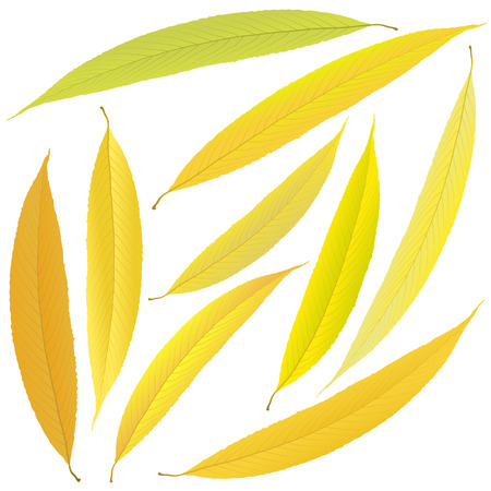 yellow autumn willow leaves Illustration