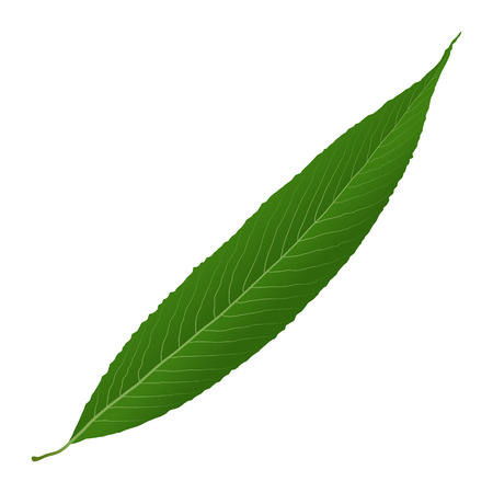 green leaf willow