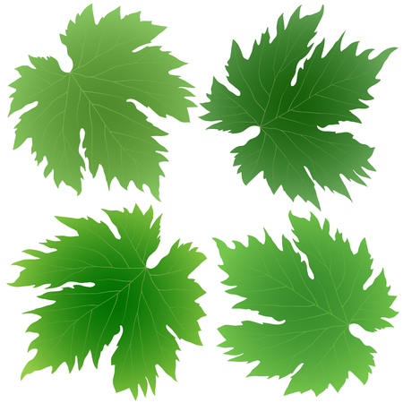 grape leaves: collection of green grape leaves isolated on white background Illustration