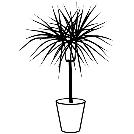 Dracaena black and white in a pot isolated on white background