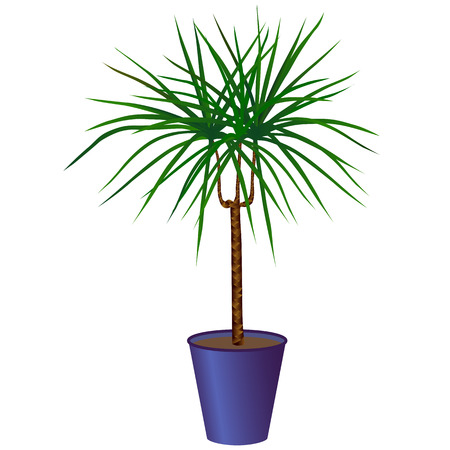 Dracaena in a pot isolated on white background Illustration
