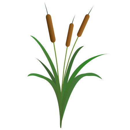 reed isolated on white background Illustration