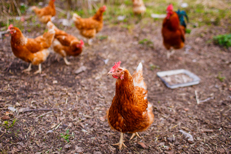 Red hen walking in the backyard and eating grains and grass Banco de Imagens