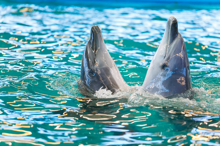 Two dolphins dancing in blue water close-up