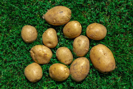 Top view: young potatoes of various sizes lie chaotically on green grass, illuminated by the rays of the sun.