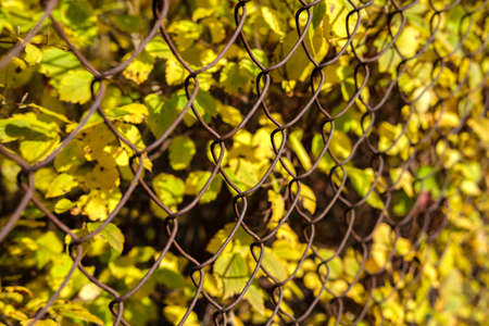 Autumn small yellow leaves behind a fence made of old rusty metal mesh, extending into the distance in a sharp shot.