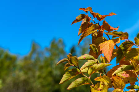 Autumn branches of a bush with yellowed and reddened leaves against a background of trees and blue sky, close-up.