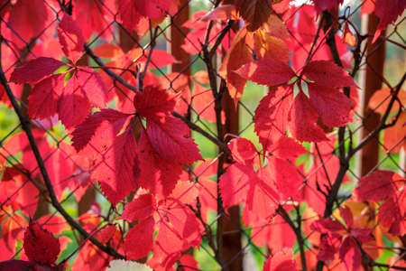 Large red autumn leaves of wild grapes against the background of a pergola made of metal mesh, illuminated by the rays of the setting sun.