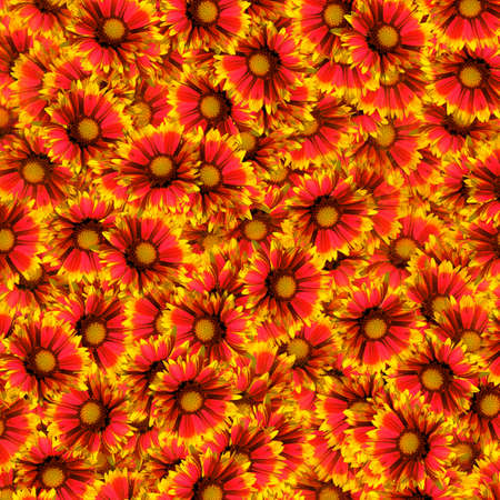 Background of randomly distributed red-yellow garden chrysanthemum flowers with sparse petals in a square orientation.