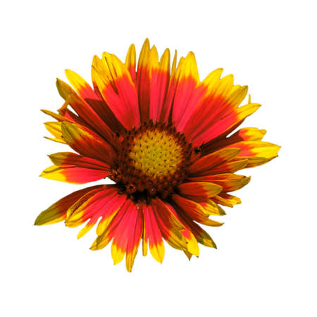 Red and yellow Chrysanthemum flower with splayed petals on a pure isolated white background in a square orientation.