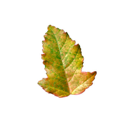 Small autumn yellow-green maple leaf with sharp edges and elongated shape on a pure white isolated background in a square orientation.