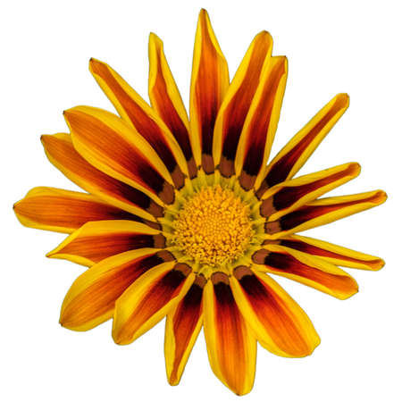 A large flower of Gatsania, of the Aster family, with yellow-red petals turning black towards the center, isolated on a pure white background in a square orientation.