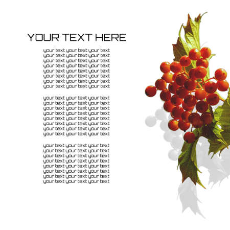 Red berries of garden viburnum with yellow-green leaves cast a harsh shadow and are isolated on a pure white background, and on the left is a copy space for text.