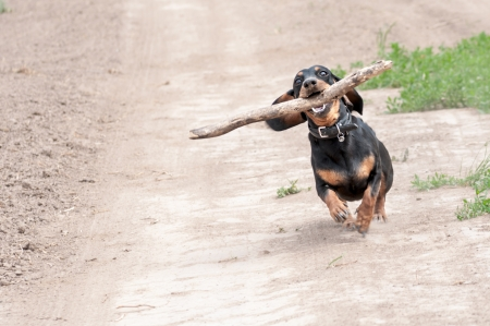 dark brown dachshund running around and playing in the summer park photo
