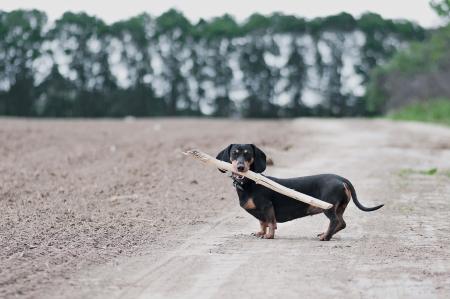 dark brown dachshund running around and playing in the summer park photo