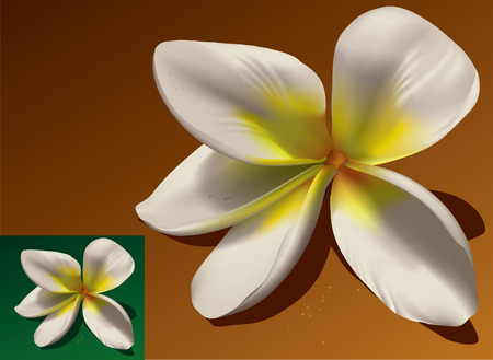 yellow flower tree: Vector illustration of a temple-tree flower named frangipani