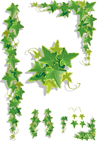 Vector illustration of ivy leaves on isolated background Vettoriali