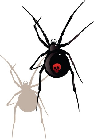 arachnophobia: Vector illustration of black widow spider on white Illustration