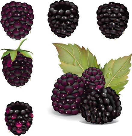 isolated over white: illustration of blackberries isolated over white
