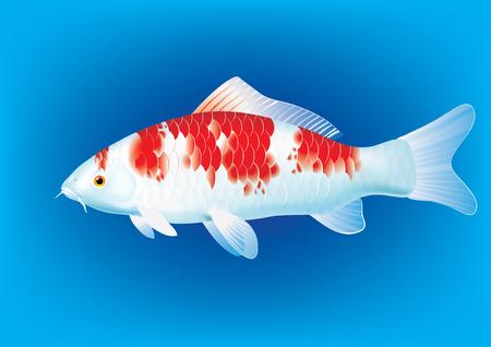 koi carp: illustration of koi carp breed Kohaku