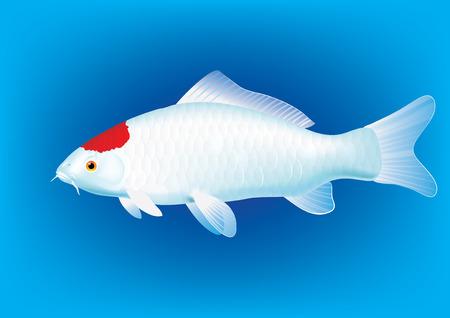 koi carp: illustration of koi carp breed Tancho Illustration